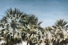 Palmiers vague