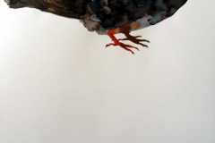 Pigeon aquarelle 23