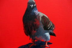 Pigeon 24
